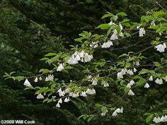 Halesia tetraptera var. monticola: Mountain Silverbell. Thrives on shallow, dry, rocky soils unlike H. tetraptera var. tetraptera.