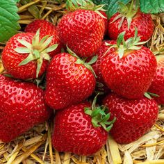 Strawberry Everbearer Albion | Parkers Wholesale