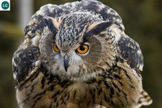 https://www.facebook.com/WonderBirdSpecies/ Thanks for your Likes, Comments and Shares (y) Eurasian eagle-owl (Bubo bubo); Europe and Asia; IUCN Red List of Threatened Species 3.1 : Least Concern (LC)(Loài ít quan tâm) || Cú đại bàng Á-Âu; Châu Âu và châu Á; Họ Cú mèo-Strigidae (Typical Owl)