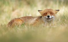 "Amused Fox - Wildlife 2015  ~~ <a href=""http://www.facebook.com/julian.rad.photography/html/"">Follow me on Facebook</a> ~~"