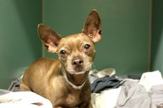 CHIPMUNK - A1092220 - - Manhattan  Please Share:TO BE DESTROYED 10/08/16 **NEW HOPE RESCUE ONLY**  **NEW HOPE RESCUE ONLY** From the streets of New York City to the back of a police car headed to the ACC is no dream vacation journey. But, those were the places where Chipmunk, a. neutered male, chocolate and white, 5 year-old Chihuahua mix is known to have spent his last days before entering the Manhattan shelter. Given the fact that he is neutered and microchipped, it is li