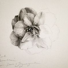 D sutherland 'red camellia, unfinished' graphite on stillman & birn zeta series sketch paper, 7 x 7 inches. completed using faber castell 9000 to Graphite Art, Graphite Drawings, Drawing Sketches, Art Drawings, Drawing Art, Drawing Tips, Figure Drawing, Botanical Drawings, Botanical Art