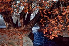 Maple In Fall: A Delightful Sight At Srinagar Kashmir  Published by National Geographic, September 1999, Kashmir: Trapped in Conflict, Photographer – Steve McCurry  © Steve McCurry – stevemccurry.com http://www.kashmircompany.com/blog/maple-in-fall-a-delightful-sight-at-srinagar-kashmir/