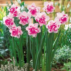 Pink daffodils. Love these.