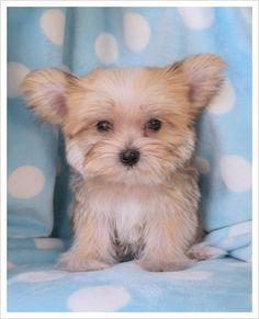Morkie puppy (Maltese/Yorkie) To Cute