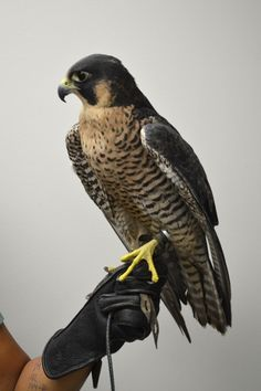Falcon - Peregrine - on the fist, inspiration for the fictional realm of Inverfyre in the medieval romances of Claire Delacroix Beautiful Birds, Animals Beautiful, Animal Spirit Guides, Peregrine Falcon, Rare Birds, Types Of Animals, Rare Animals, Birds Of Prey, Colorful Birds