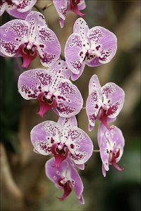 Colorful Phalaenopsis