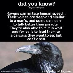 Ye, i heard before a Raven imitating Humans' voice. ^ oh and i thought this Raven was the Teen Titans Go 'Raven' 😂😂 The More You Know, Did You Know, Good To Know, Funny Animals, Cute Animals, Crows Ravens, Animal Facts, Animal Fun, A Silent Voice