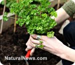Parsley attracts predatory insects that protect your garden against pests