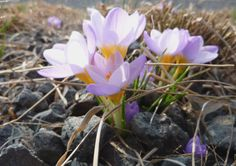 One of the first spring bulbs to bloom on the High Line is Tommasini's crocus (Crocus tommassinianus).