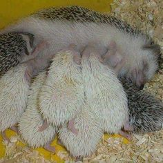 hedgehog mommy!