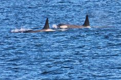 Antarctic Killer Whales in Antarctica www.greenglobaltravel.com #killerwhales #antarctica #ecotourism