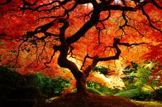 beautiful maple trees.