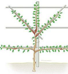 How to create an espalier tree | Bylands Nurseries Ltd.