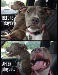 Happy pitbulls