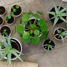 Pilea, succulents