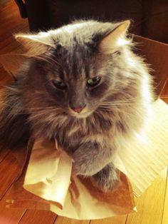 Big cat in a little box...