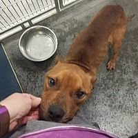 Pictures of Tony a Pit Bull Terrier Mix for adoption in Henderson, NC who needs a loving home.