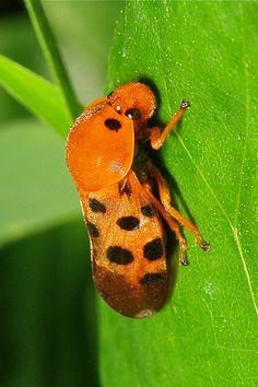 Froghopper (Cosmoscarta sp., Cercopidae)