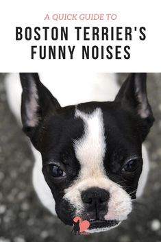 Why Do Boston Terriers Make Funny Noises? #bostonterrier #bostonterrierpuppy #bostonterrierfacts #bostonterriercare #bostonterrierhealth #bostonterrierbehaviour #bostonterriertemperament #owningabostonterrier #dognoises #dogbehaviour #dogfacts #dogfactsinteresting Dog Facts Interesting, Dog Noises, Dog Sneezing, Boston Terrier Temperament, Boston Bull Terrier, Eyes Problems, Dog Behavior, Weird, Funny