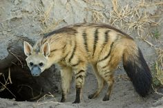 Aardwolf (Proteles cristata) Insectivorous mammal, native to East Africa and Southern Africa.