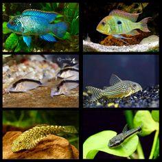 Max Aquarium Heaps of new fish in stock for the weekend. 🐟 Electric blue acara 🐟 Orange head tapajos 🐟 Skunk Cory ( nice ! ) 🐟 Sterbai cory 🐟 Borneo Suckers ( nice ! ! ) 🐟 Ottocinclus catfish  And much more ! Don't miss out 😁   Max Aquarium  Local Aquarium Store