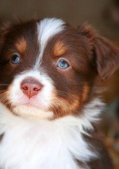 Red Merle Aussie Pup