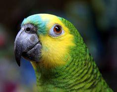 Papagaio-verdadeiro. - Os papagaios, também conhecidos como Louros, são uma das aves pertencentes à ordem dos Psitaciformes. Podendo viver cerca de 100 anos, esses animais são conhecidos por escolherem um parceiro, de forma geral, para passar toda a vida e também, principalmente por conseguirem imitar a voz humana.