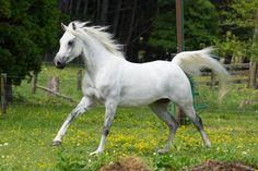 grey arabian horse - Google Search Glitter Hearts, Horses, Grey, Animals, Image, Google Search, Horse, Gray, Animaux