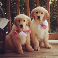 Golden retriever puppies with christmas gift greeting cards. $3.15 ...