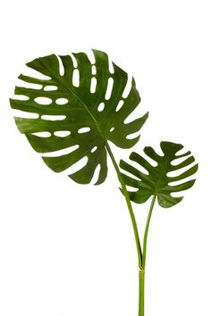 Add a tropical touch to your foyer bouquet or create a lush display in the bay window with this faux monstera stem. Artificial Plant Wall, Artificial Flowers, Tropical Leaves, Tropical Plants, Fake Plants, Indoor Plants, Illustration Blume, Leaf Template, Office Plants