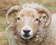 A Portland (rare breed) sheep   David Allsopp