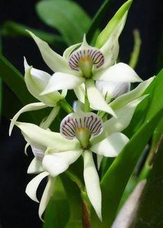 Anacheilium (Encyclia) fragrans
