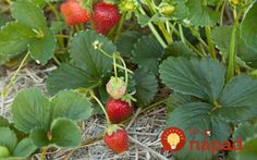 All strawberry plants are not created equal. Before you get planting, you'll need to consider what variety would be best for your garden Strawberry Garden, Strawberry Plants, Fruit Garden, Organic Fruit, Organic Plants, Organic Gardening, Gardening Supplies, Gardening Tips, 7 Months Baby Food