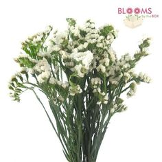 Wholesale Statice White - Blooms by the Box