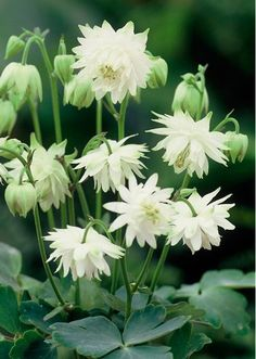 Plant diversity - the seed shop: Perennial seeds, bed perennials, ground cover plants, wild perennials, rock garden jewels - White stuffed columbine - Love Flowers, White Flowers, Beautiful Flowers, Lime Sorbet, Columbine Flower, White Plants, Seed Catalogs, Ground Cover Plants, Shade Perennials