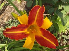 daylily, bicolor, red, gold, midrib - Google Search