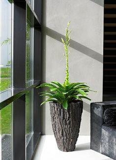 scorza_medium - Botanic International Pflanzenversand XXL Großpflanzen europaweit kaufen