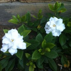 proflowers gardenia bonsai
