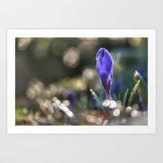 "Art Print / MINI (10"" x 7"") Originalaufnahme (originalaufnahme) Crocus at backlight by Originalaufnahme $18.00  #posters #artworks #graphic design #texture #inspiration #artists #stretched canvas #illustrations #room #products #pretty #colour #inspiration #Wall Art #Home Decor #Throw Pillows #Cards #Mugs #Shower Curtains #Wall Tapestries#Duvet Covers #Rugs #Wall Clocks #Art Prints #Framed Art Prints #Canvas Prints #Editions #Wall Tapestries"