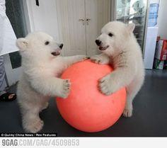 Twin polar bear cubs!