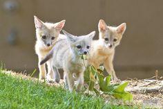San Joaquin Kit Fox pups, Vulpes macrotis mutica, Urban ca…   Flickr