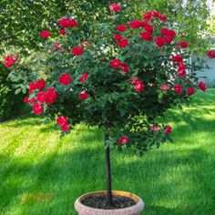 Knock Out® Tree Rose