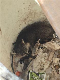 Baby Racoon, Tri Supply Del City Del City, Baby Racoon, Delaware City, Baby Raccoon