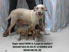DEADLINE FOR THIS WHOLE FAMILY OF 6/5 THURSDAY. DESPERATE NEED OF PLEDGES SO A RESCUE CAN PULL. No amount is too small! She's a super friendly mom, always smiling and wagging her tail! Lets everyone play with her pups! HOUSTON, TX.  https://www.facebook.com/253123334768421/photos/a.253140671433354.61356.253123334768421/659192660828151/?type=1&theater