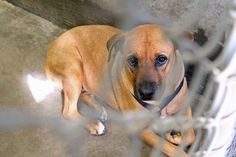 7-16: STILL THERE BUT AC will be euthanizing through the day. GO GET HER RIGHT NOW TEXAS!  7/15/14 - 10 pm: Given extra time, please share so we can get her out of here!!! Is spayed and has been vaccinated!! *****~Odessa - help needed FAST!!~~Beautiful Black Mouth Cur ~Female ~1-2 years old~ Kennel A29~ Available Now!! $51 to Adopt! Located at Odessa, Texas Animal Control. 432-368-3527