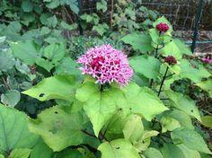 Le bouquet du Cachemire : Clerodendron bungei