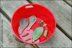 propagating succulents from leaves - step by step tutorial