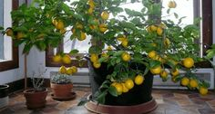 Learn how to grow a lemon tree in the comfort of your own home!