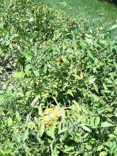 Tomatoes, tomatoes, sweet tomatoes!! 8-8-13.